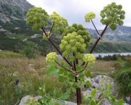 Анґеліка як лікарська рослина: застосування та ефект