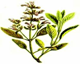 Сальвія як лікарська рослина